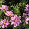 Cosmos sonata Pink Blush (pale pink) 1L ready May